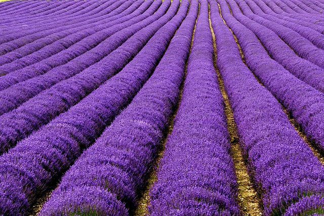 Lavender-Fields-UK-and-France-2