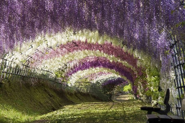Wisteria-Flower-Tunnel-in-Japan